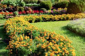 how to grow and care for marigolds