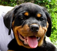 rottweiler puppy dog canine cute