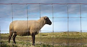 Keep Sheep Goats Safe With Proper Fencing