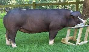 poland china pig breed - Entrepreneur Platform