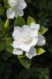 gardenias tough southern traditions