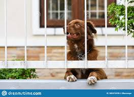 Cute Dog At Home Fence Look Outside Stock Photo Image Of Breed Gate 180474528