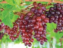Vitis 'Catawba' (Grape Vine)