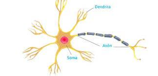 Siguen formándose neuronas en el cerebro adulto? - El Síndrome de Down