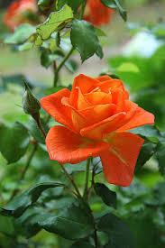 rose orange flower blossom plant free
