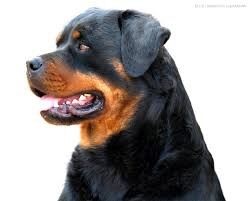 rottweiler wallpaper on hipwallpaper
