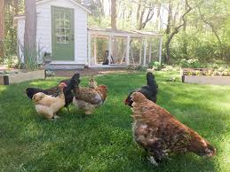 Omlet Chicken Fencing Giveaway For Your Flock Tilly S Nest