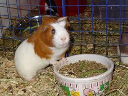 cavy world guinea pig rescue