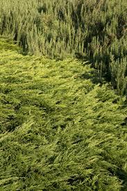 calgary carpet juniper monrovia
