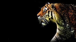 tiger black hd free wallpaper hq