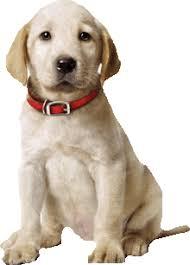 Znalezione obrazy dla zapytania: gif labrador