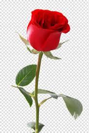وردة حمراء واحدة Png