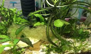 get rid of algae in fish tank naturally
