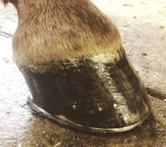 horseshoe nail height