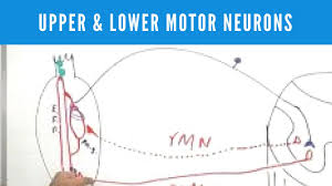 upper and lower motor neurons lesions