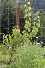Diy Grape Vine Trellis How To Build A Homemade Arbor In The Backyard Grape Vine Trellis Backyard Garden Landscape Backyard Garden Design