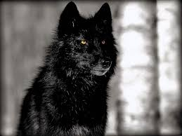 hd black wolf wallpapers wolf