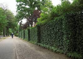 Oxford University Study Finds Ivy Can Protect Walls Landscape Architect S Pages
