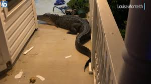 How To Keep Alligators And Snakes Out Of Yard Without Fence Hilton Head Island Packet