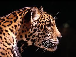 خلفيات نمور Tigers