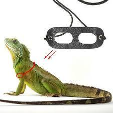 b blesiya bearded dragon reptile lizard