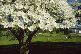 Amazon Com Wallmonkeys Ngo 27494 30 Wm136359 A Blossoming Dogwood Tree And Grazing Horses Peel And Stick Wall Decals 30 In W X 20 In H Medium Large Home Kitchen