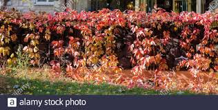 Red And Purple Boston Ivy Plant Climbing On A Fence Close Up Stock Photo Alamy