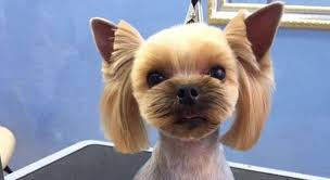 best yorkie haircuts for females 20