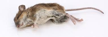 mouse poison safety tips in the home