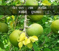 ब ल फल bael fruit in hindi ल भ