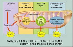 aerobic respiration cellular