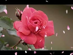images of red rose red rose flowers