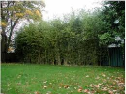 Bamboo Hedges For Privacy Bamboo Hedges Fences And Living Walls Bamboo Hedge Bamboo Landscape Bamboo Privacy