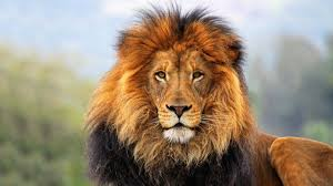 lion head wallpaper 1920x1080 13658