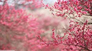 cherry blossom an flowers pink