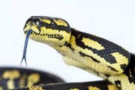 jungle carpet python morelia spilota