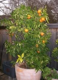 growing fruit trees in containers guide