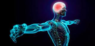 Resultado de imagen de Sistema nervioso humano