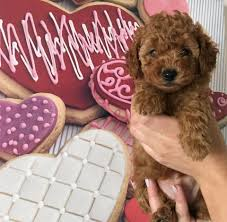 toy poodle puppy in chester cheshire