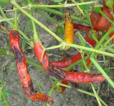 Field Resistance of Chilli Cultivars Against Anthracnose Disease ...