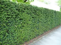 15 Amazing Living Fence Ideas For Your Yard Bees And Roses Living Fence Green Fence Fence Landscaping