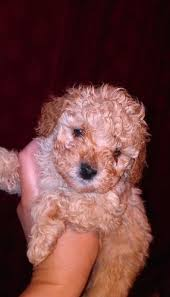 adorable toy poodles for adoption for