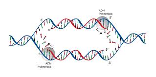 Replicación de ADN | NHGRI