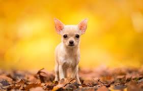 leaves dog chihuahua doggie dog