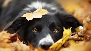 Images Border Collie Dogs Foliage Autumn Snout animal 1920x1080