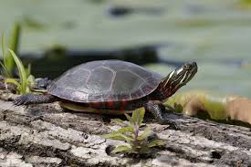 Turtle Symbolism Dreams Meaning And Messages Spirit Animal Totems