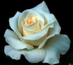 اجمل وردة بيضاء وردة جميلة جدا باللون الابيض احضان الحب