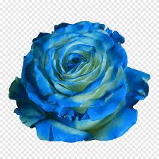 الورود الحديقة الزرقاء الورود Centifolia الخضراء موجة زرقاء