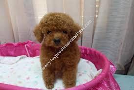 teacup toy poodle breeders puppies