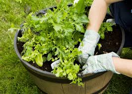 vegetable container gardening getting